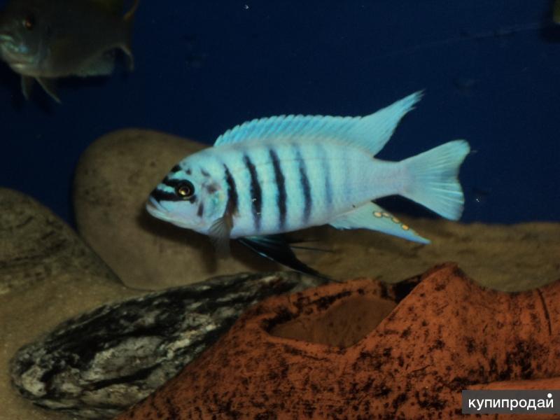 псевдотрофеус зебра мейсон риф