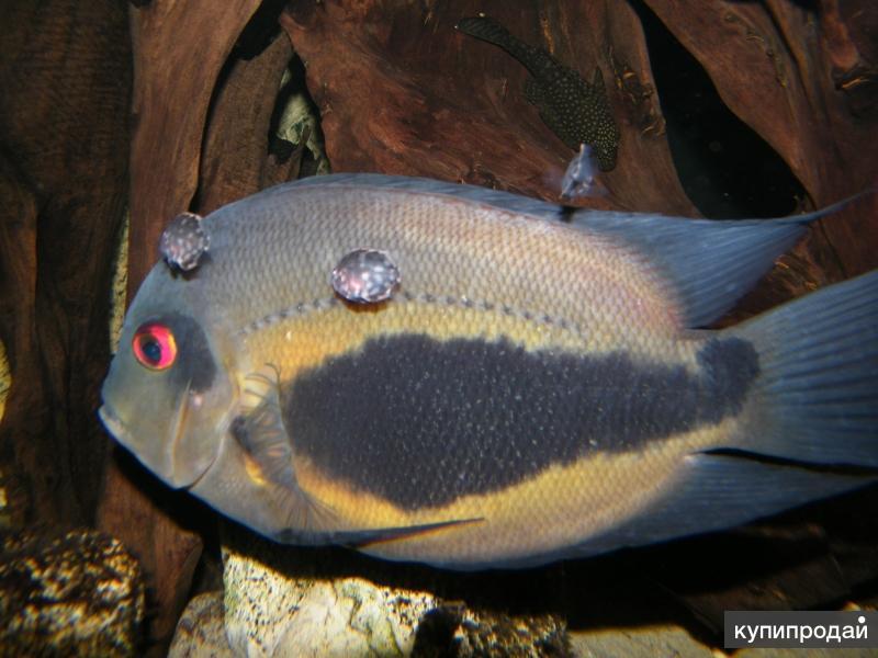 Уару двушипый, Клинопятнистая цихлида (Uaru amphiacanthoides)