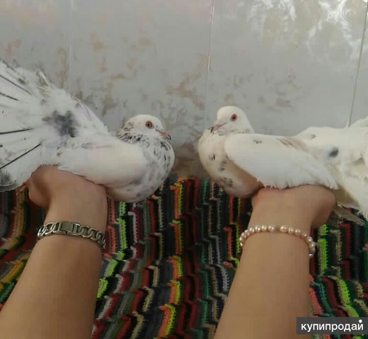 Голуби - павлины