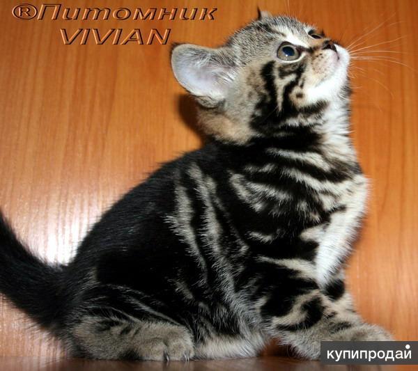 Британские клубные котята черный мрамор.