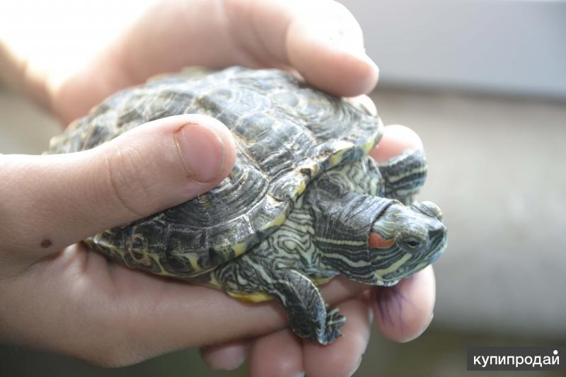 Продаю красноухую черепаху
