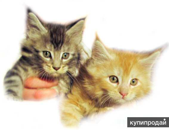 Выбирайте котяток Мейн кун мальчики и девочки