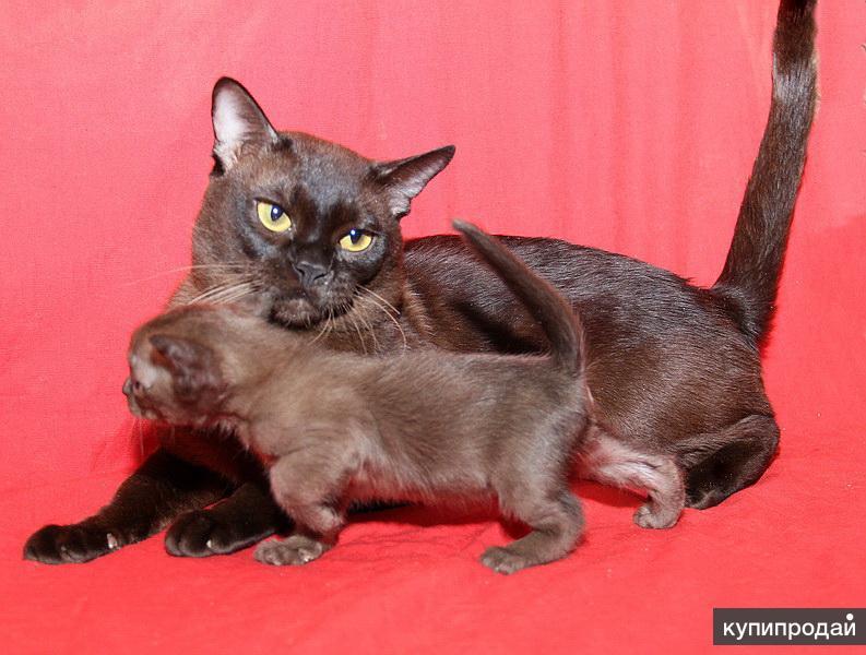 Бурманские котята-собольки