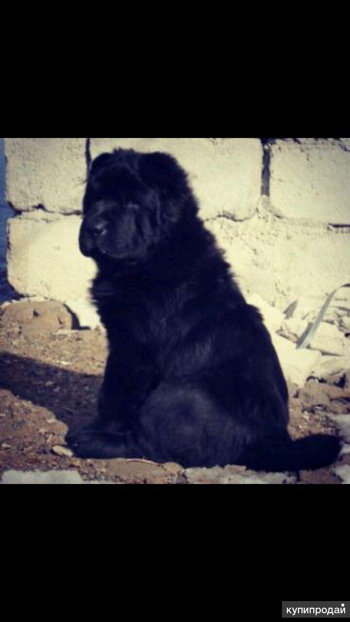 Продается собака,породы китайский шар-пей.