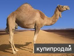 Лечение в Египте верблюжьим молоком.