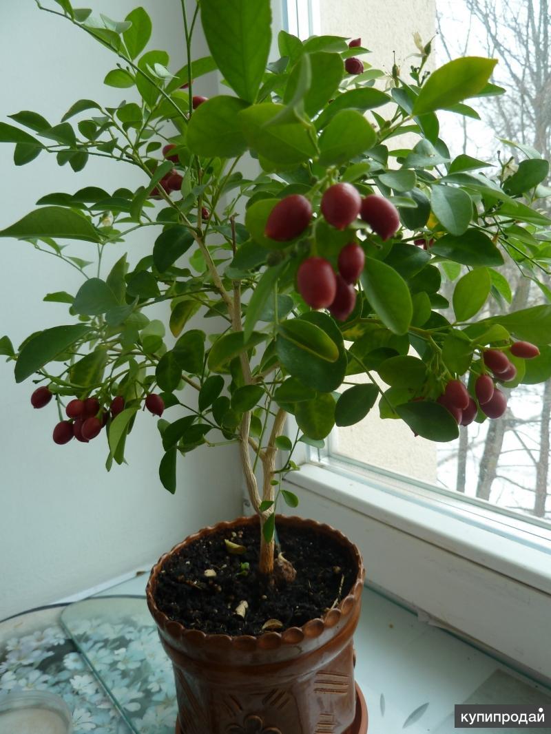 Мурайя красноплодная (сеянцы)