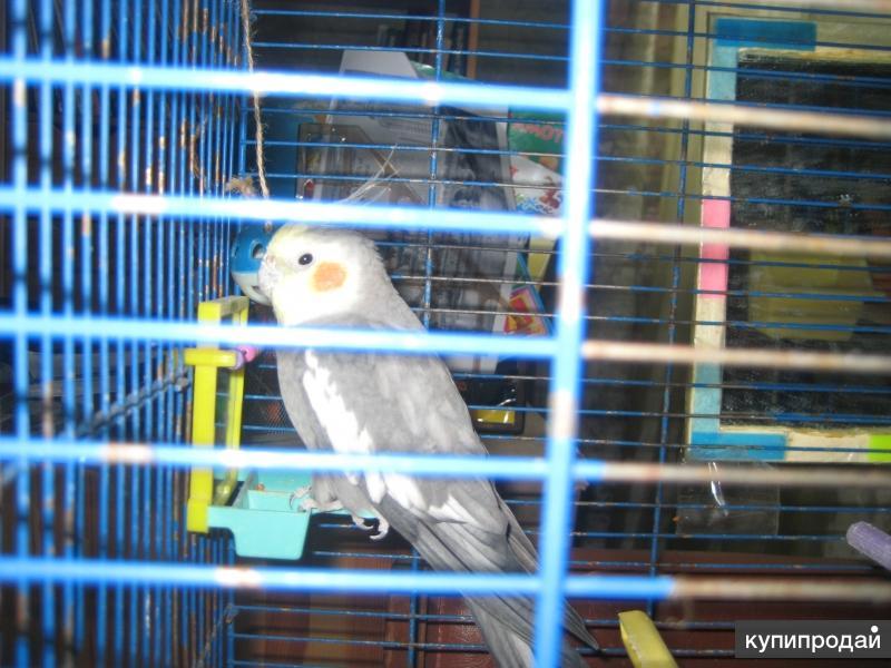 продаю попугая кореллу