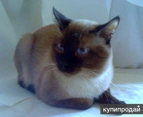 Тайский (сиамский) матерый кот на вязку