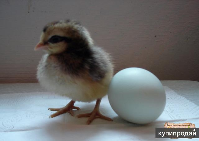 Яйца инкубац, Барбёзьё, Легбар, Билефельдер, Мехеленская, Бресс, Шелк,
