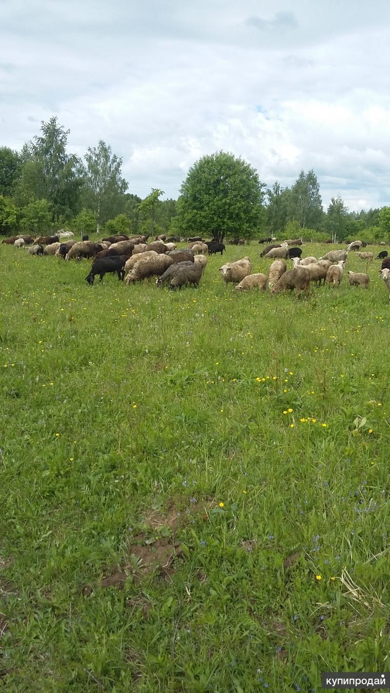 Продаются овцы разных пород