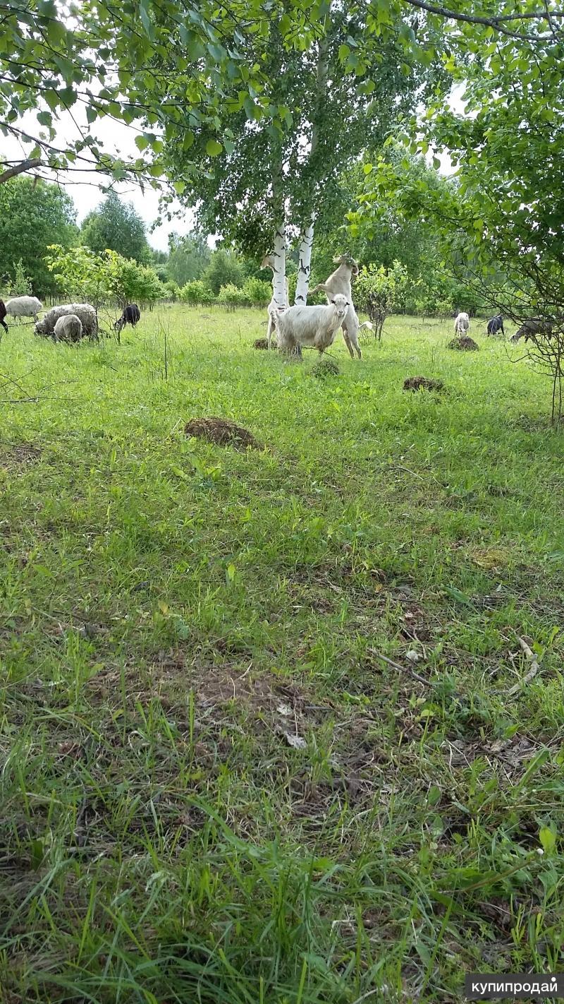 Продаются 2 ангорских племенных козла