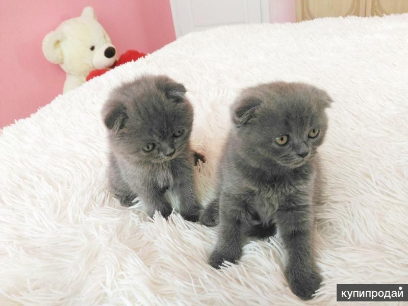 Шотландские вислоухие котята (девочки)