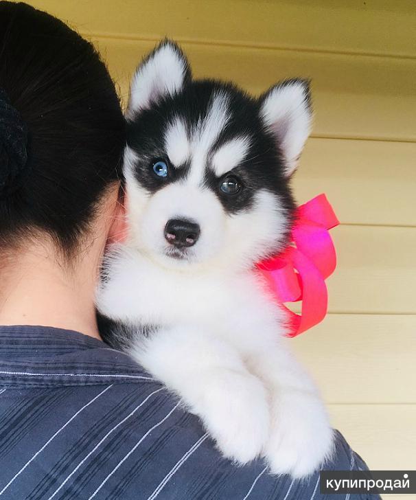 Хаски красивые щенята