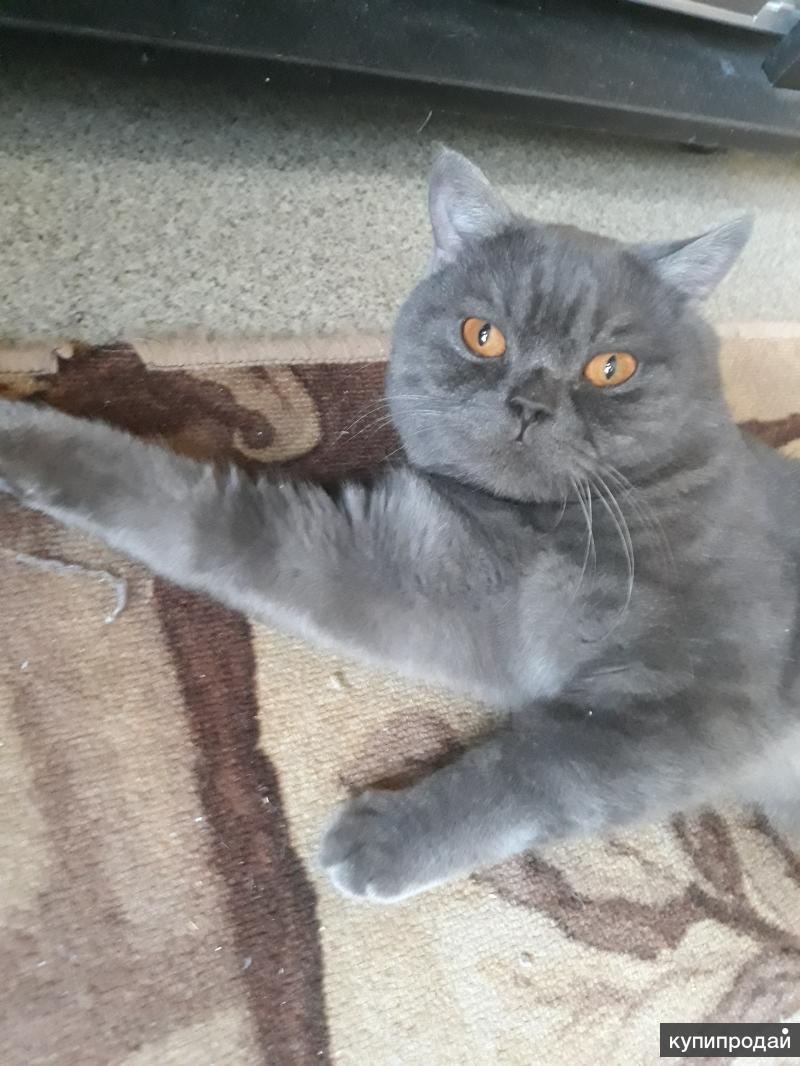 Кот британский редкого окраса