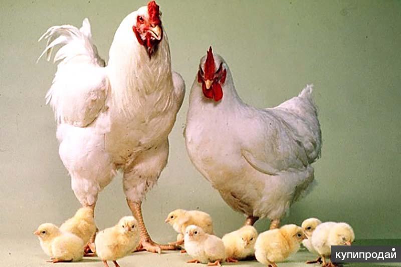 Куры-несушки. Цыплята Бройлеры