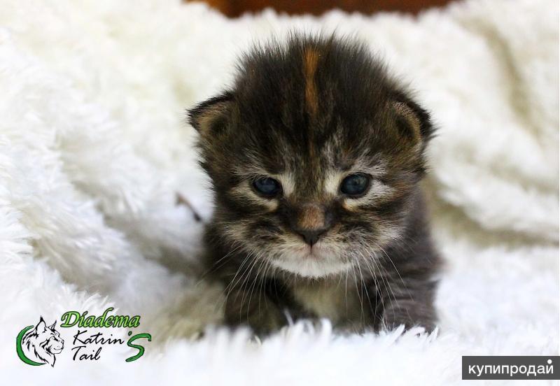 Котята Мейн-Кун для Вас
