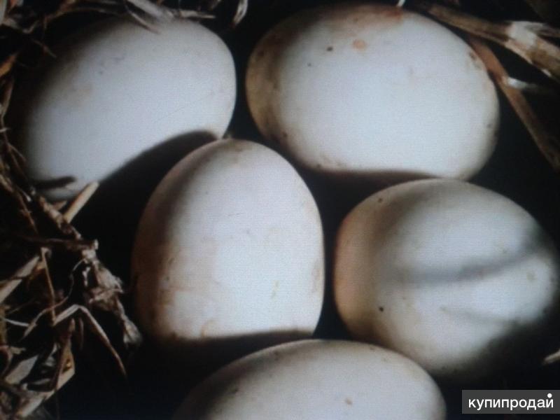 Яйца белой индоутки