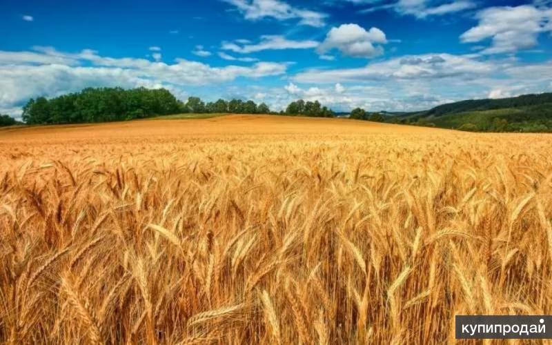 пшеница волгоград