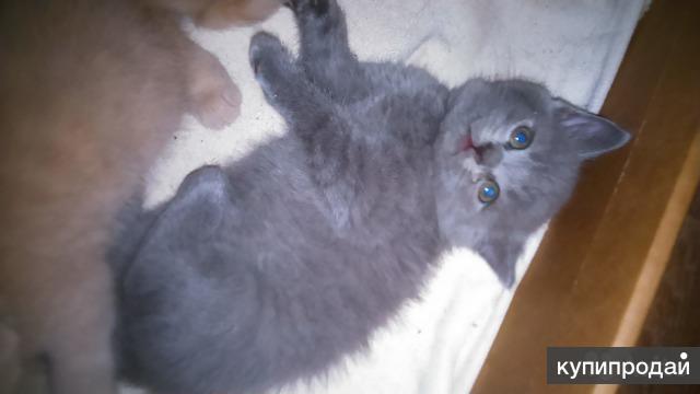 Продам британских вислоухих котят