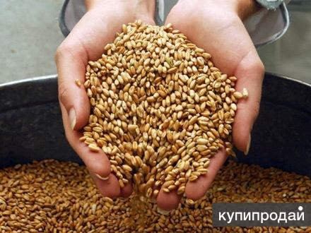 Продам: зерно оптом и в розницу, купить: зерно в Брянске