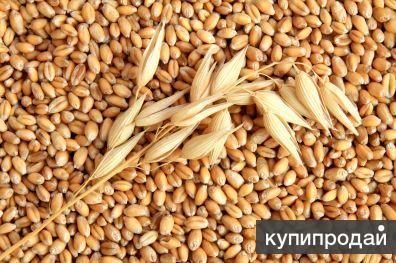 Закупаем зерно все культуры с хозяйств и КХП!