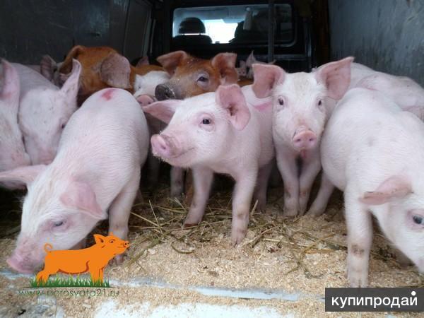беконные породы свиней