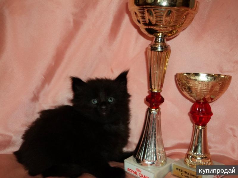 котята от чемпионов,вязка с чемпионом