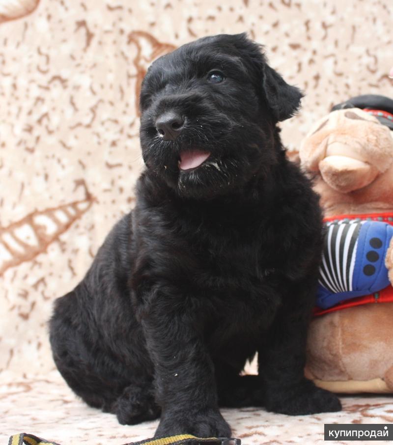 щенок черного терьера