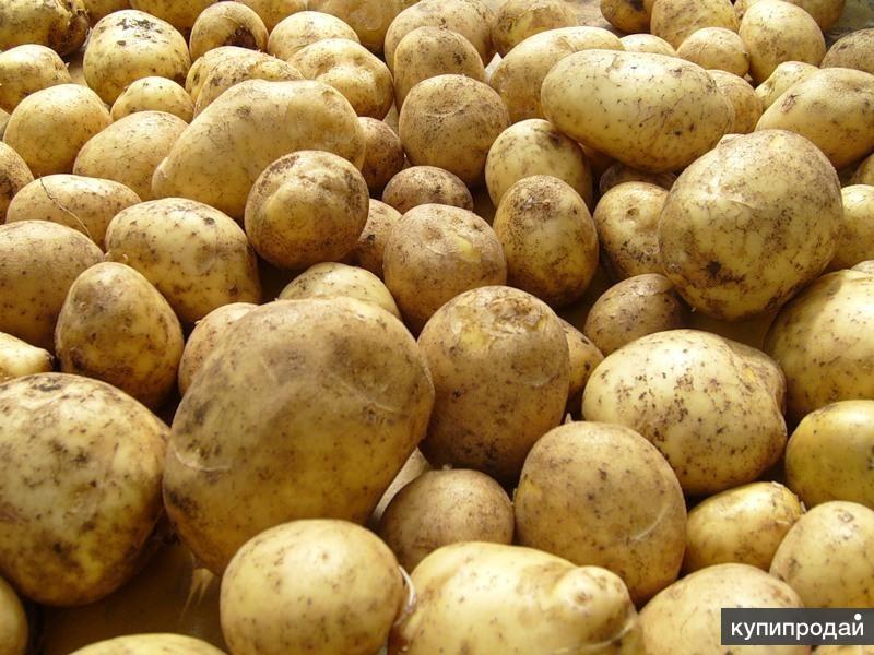 Продажа продовольственного картофеля оптом