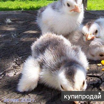 Продаются цыплята цесарок