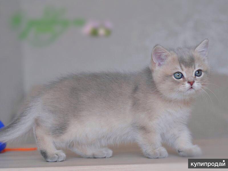 Котята голубое золото фото