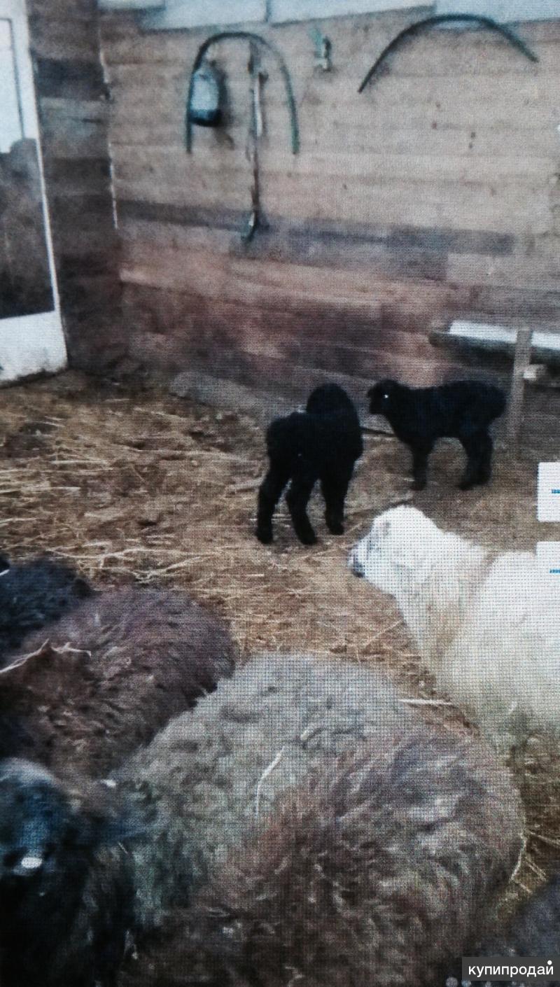Продаются овцы с ягнятами