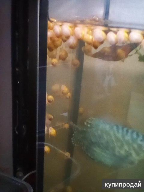 продам аквариумных улиток ампулярий
