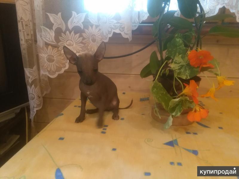 мексиканская голая собака (ксоло) щенки