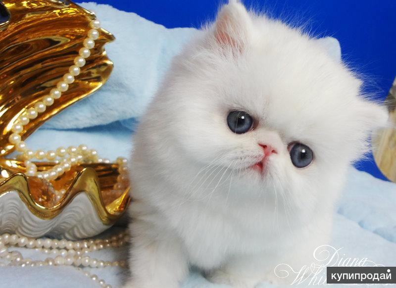 Персидский котенок белого окраса Диана c медными глазами
