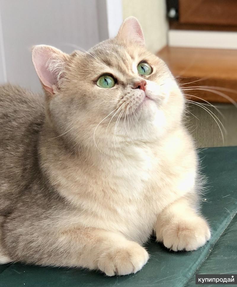 Продам британского котёнка окраса голубое золото ( ау11)
