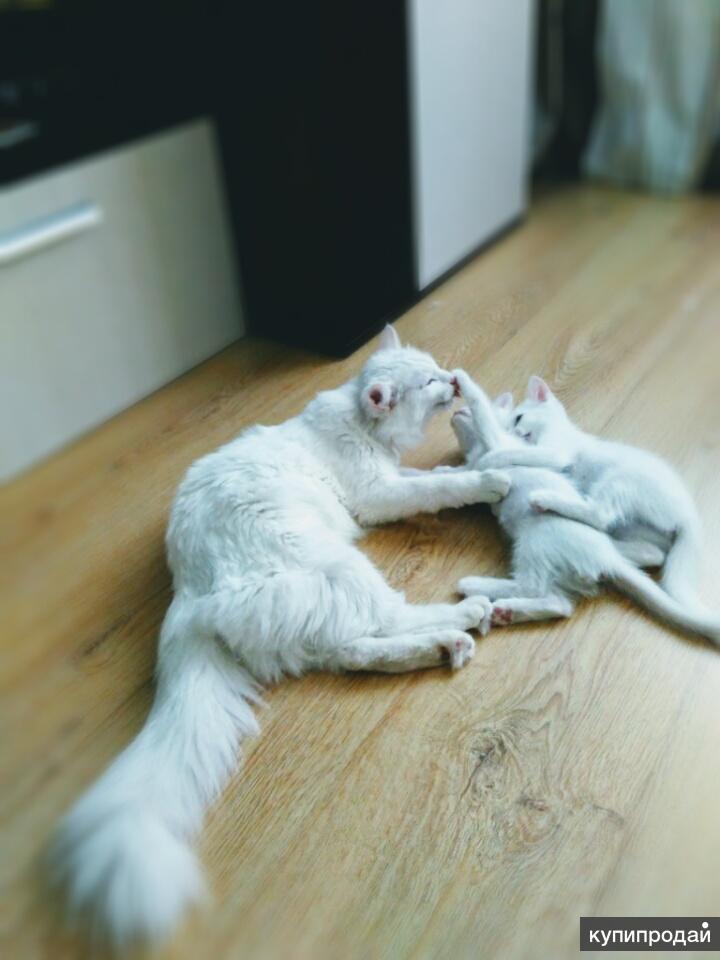 Отдам котят породы Турецкая Ангора