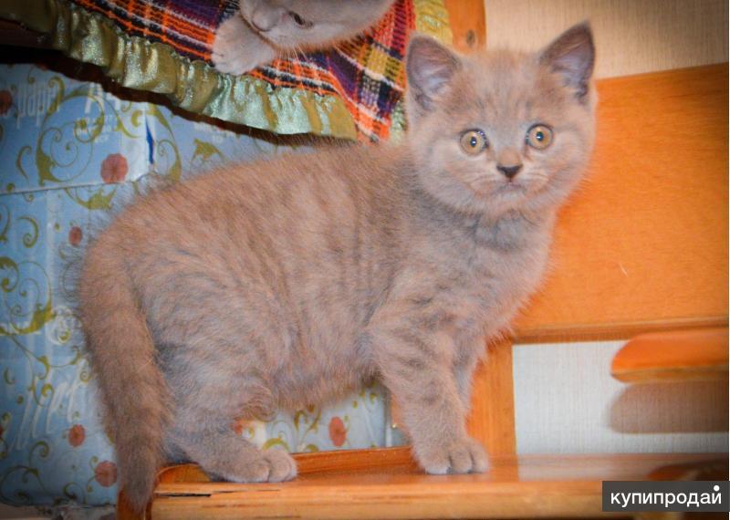 Милые шотландские котята