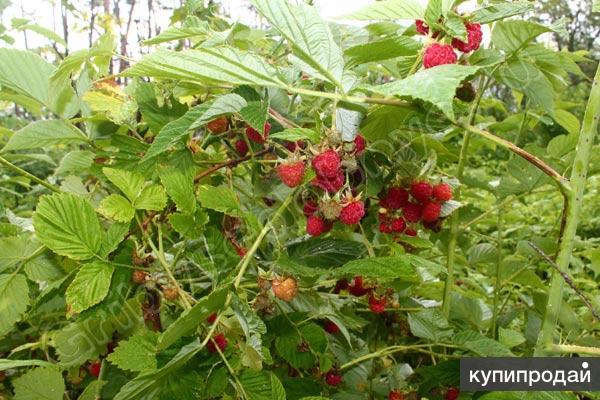 Лесные ягоды черника, малина