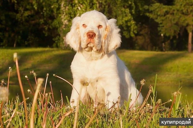 Предлагаются шикарные щенки редкой породы Кламбер спаниель.