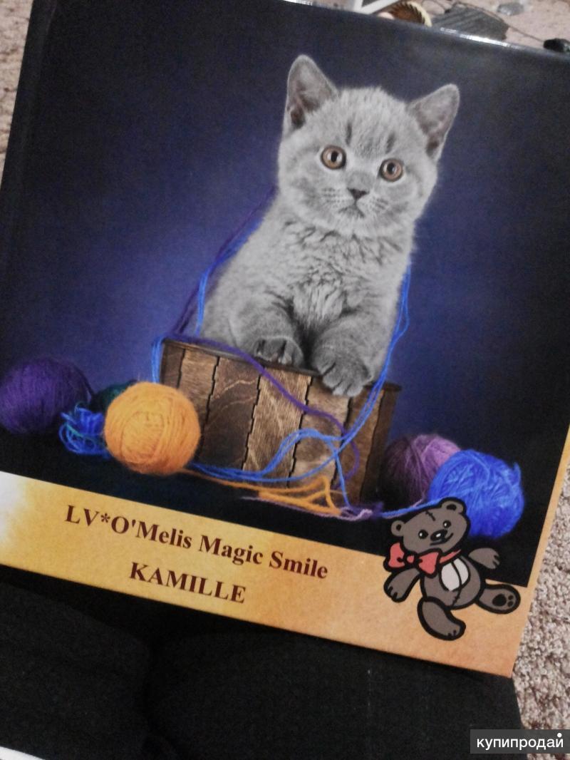 Коротко шерстная кошка
