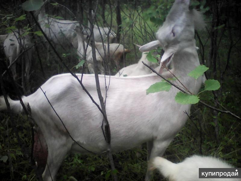 Три зааненские козы заменят стадо!