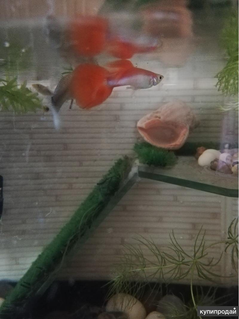 Мальки гуппи, улитки аквариумные
