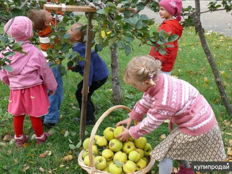 сбор яблок вишен абрикос и.т.д