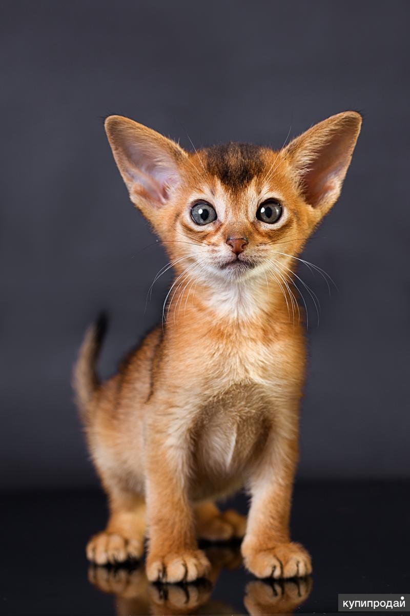 абиссинские котята фото поводом