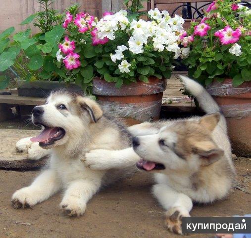 Шикарные щенки аляскинского маламута