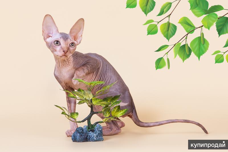Эльф, бамбино, двэльф, канадский сфинкс - лучшая кошка!