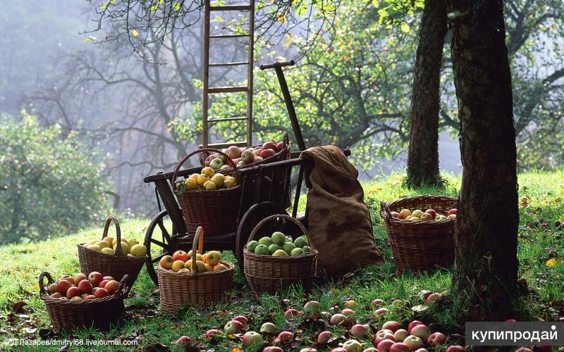 Сбор яблок
