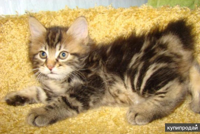 Котёнок Курильского Бобтейла