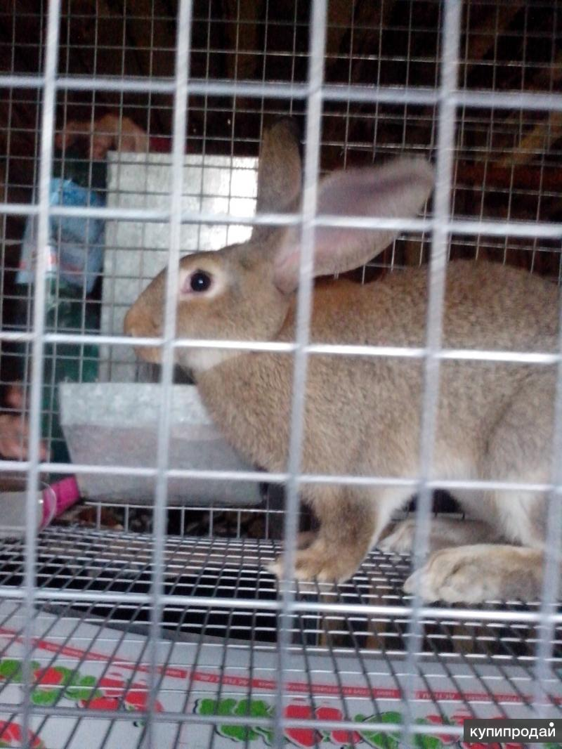 Кролики Фландры живые